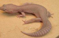 Blizzard Leopard Gecko Morphs