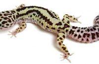 Bold Stripe Leopard Gecko Morph