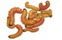 Butterworms