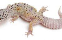 Enigma Leopard Gecko Morph
