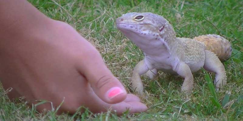 Giant Leopard Gecko