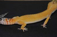 Hypo Melanistic Leopard Gecko
