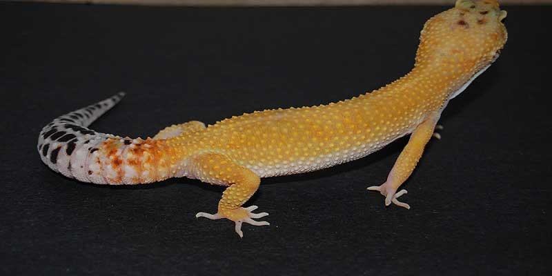 Hypo Melanistic Leopard Gecko