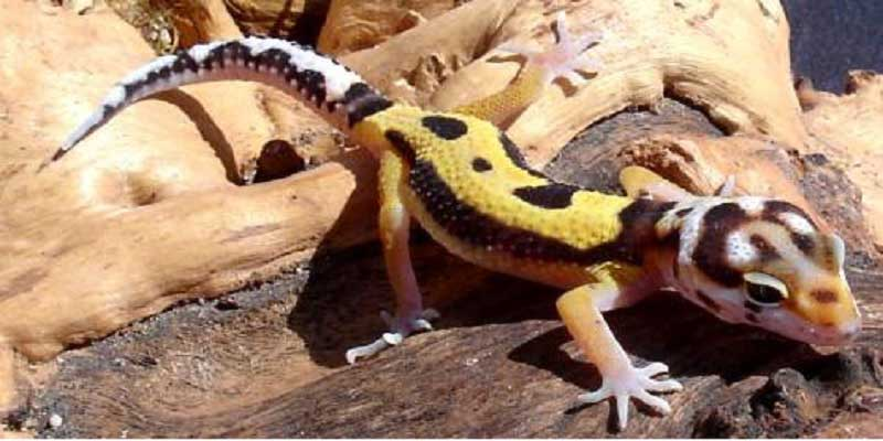 Jungle Leopard Gecko Morph