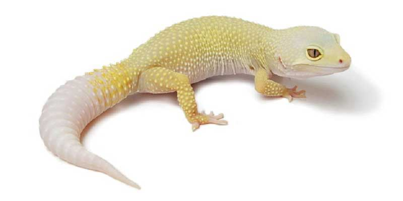 Patternless Albino