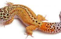Striped leopard geckos