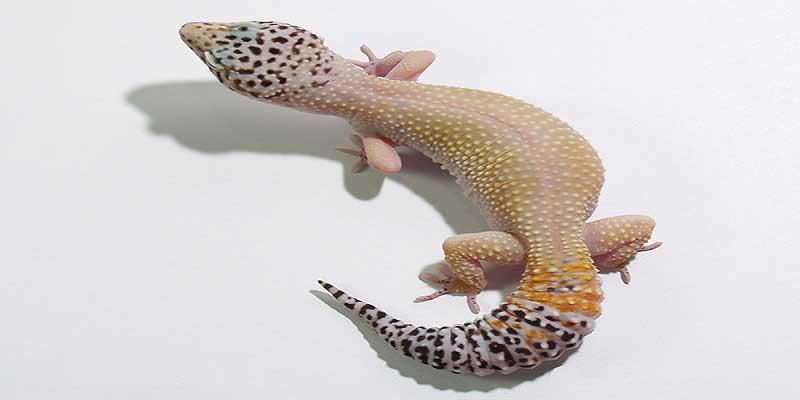 Super Hypo Melanistic Leopard Gecko