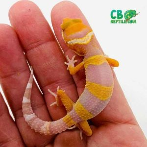 Tug Snow Leopard Gecko for sale » One of the most exotic