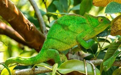Chamaleon-parson