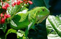 Common Green Iguana