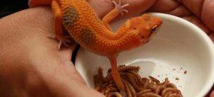 leopard gecko food