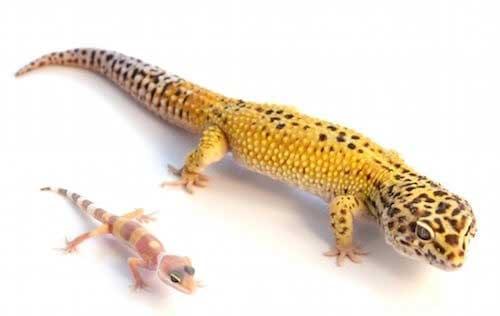 leopard gecko baby