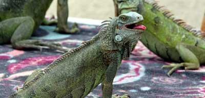 iguana natural habitat