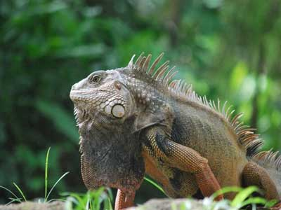 male adult green iguana
