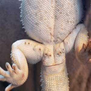 Male pogona (Femoral Pores)