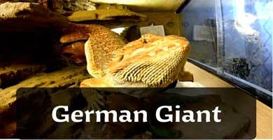 german giant pogona
