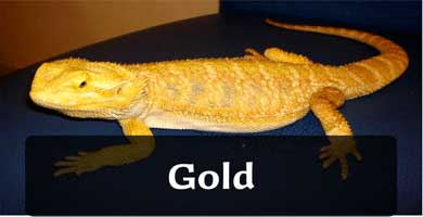 gold pogona