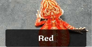 red pogona