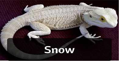 snow pogona