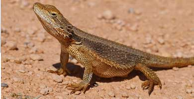 Dwarf bearded dragon
