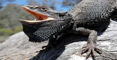 Bearded dragon (Pogona Barbata)