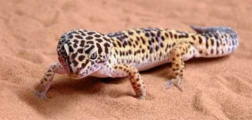 leopard gecko in the wild
