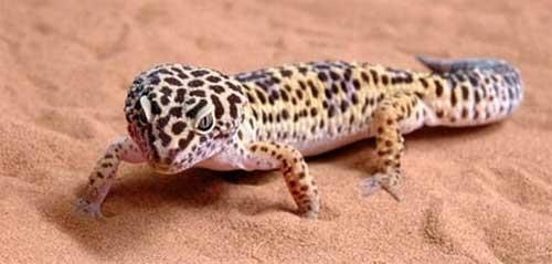 Wild-High Yellow Leopard Geckos