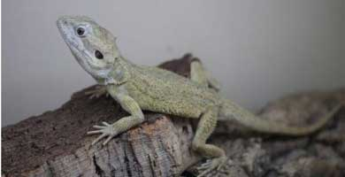 North-west bearded dragon