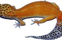 Hypo & Hyper Melanistic Leopard Gecko